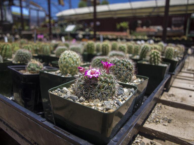 Cactus Mart sur la route de Joshua Tree